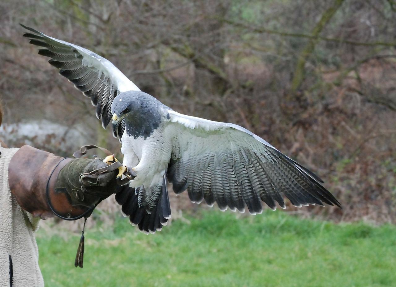 foto di un falco che si posa sul braccio di un falconiere